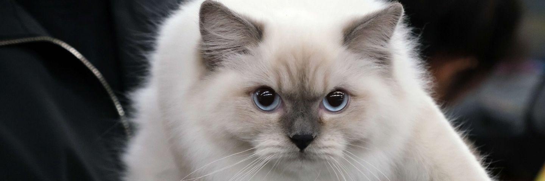 chat blanc aux yeux bleus