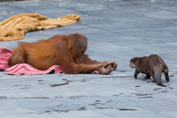 Orang-outang et loutre pairi daiza
