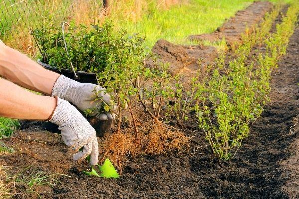 Plantation haies
