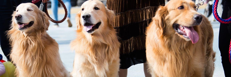 trois chiens labradors
